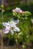 Tot bloei komende tak van een appelboom Royalty-vrije Stock Foto