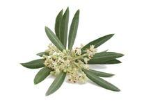 Tot bloei komende tak van een olijfboom Stock Foto's