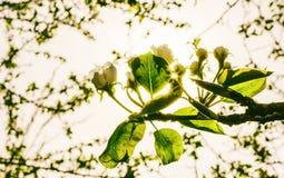 Tot bloei komende tak van een perenboom Royalty-vrije Stock Foto