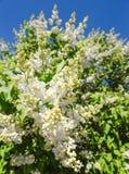 Tot bloei komende tak van een wit lilac close-up Natuurlijke die achtergrond van witte lilac bloemen en blauwe hemel wordt gemaak Stock Afbeelding