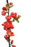 Tot bloei komende tak van Japanse kweepeer (Chaenomeles-japonica) op witte achtergrond Royalty-vrije Stock Foto's