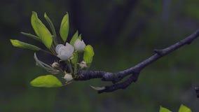Tot bloei komende Tak van Perenboom stock footage