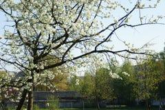 Tot bloei komende takken van een appelboom royalty-vrije stock afbeeldingen