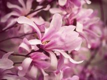 Tot bloei komende takken van magnolia, roze bloemen stock afbeeldingen
