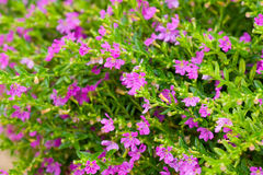 Tot bloei komende thyme royalty-vrije stock afbeelding