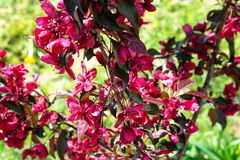 Tot bloei komende tuin in de lente Apple-boomroyalty stock afbeelding