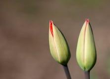 Tot bloei komende tulpen Stock Fotografie
