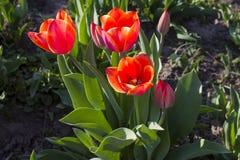 Tot bloei komende Tulpen Royalty-vrije Stock Foto