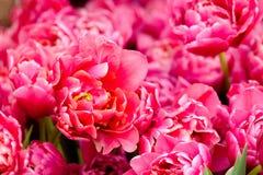 Tot bloei komende tulpen dicht omhoog achtergrond Stock Afbeelding