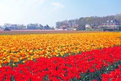 Tot bloei komende tulpen in het platteland van Nederland Stock Foto's