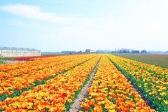 Tot bloei komende tulpen in het platteland van Nederland Stock Afbeelding