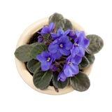 Tot bloei komende viooltjes in bloempot. Stock Fotografie
