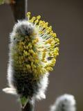Tot bloei komende wilg. De lente. Geel. Royalty-vrije Stock Foto's