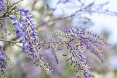 Tot bloei komende wistariatak in de lentetuin royalty-vrije stock foto's