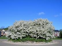 Tot bloei komende witte bloembomen royalty-vrije stock afbeelding