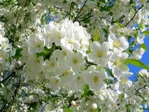 Tot bloei komende witte bloembomen stock afbeelding