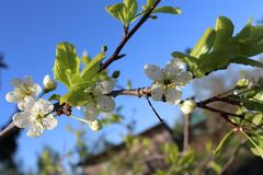 tot bloei komende witte bloemen van Apple-bomen royalty-vrije stock afbeelding