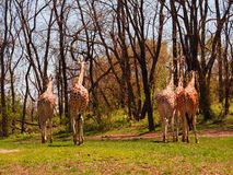 Tot ziens, tot ziens 5 giraffen Stock Foto