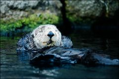 Total relaxation. Sea otter taking a leisurely swim Stock Photo