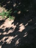 Total Solar Eclipse Crescent Sun Images Just Before Totality. On August 21, 2017, pinhole-type gaps between the leaves projected a nearly total solar eclipse Royalty Free Stock Photo