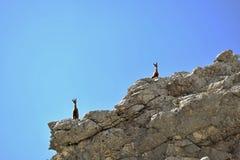 Totalisators Gebirge - gemzen Royalty-vrije Stock Foto's
