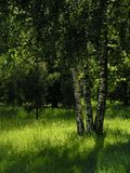 Totally green. Sunny day in the park; birches and green grass in sunlight Stock Photo