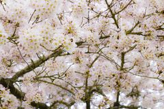Beautiful cherry blossom tree close up during spring stock photo