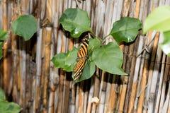 Totalview av en monark stapplar fjärilen som fotograferas i en burk royaltyfri foto