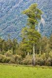 Totara tree growing in rainforest. Totara tree growing in New Zealand rainforest Royalty Free Stock Photo