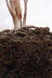Tote Anlage mit Wurzeln im Boden Lizenzfreie Stockbilder