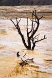 Tote Bäume bei Mammoth Hot Springs Stockfotografie