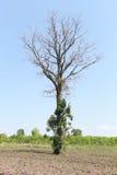 Tote Bäume im Ackerland Lizenzfreie Stockbilder