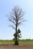 Tote Bäume im Ackerland Stockfoto