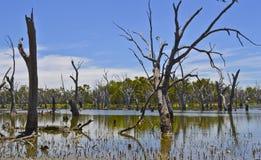 Tote Bäume im Wald von gumtrees, Forbes, New South Wales, Australien Lizenzfreies Stockfoto