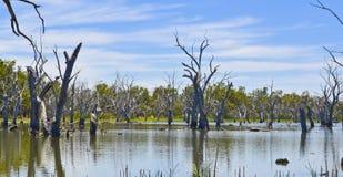 Tote Bäume im Wald von gumtrees, Forbes, New South Wales, Australien Lizenzfreie Stockbilder