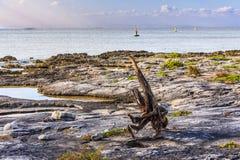 Tote Baumwurzeln, die das Meer aufpassen Stockfoto