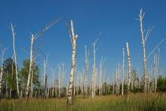 Tote Birkenwaldung Stockfotografie