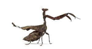 Tote Blatt Mantises - Acanthops SP - Lizenzfreie Stockbilder