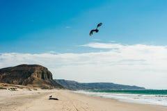 Tote Dichtung auf der Küste des Pazifischen Ozeans lizenzfreies stockfoto