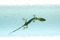Tote Eidechse oder Gecko Stockbild