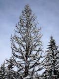 Tote Fichte und Schnee Stockbilder