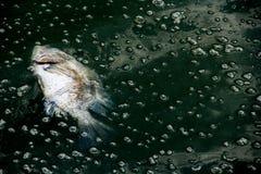 Tote fis auf Abwasser Stockfotos