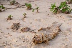 Tote Fische auf dem Strand? Bild hingen mit verziertem biohazard Symbol ein Wasserverschmutzungskonzept lizenzfreie stockbilder