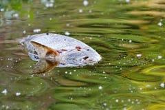 Tote Fische auf dem Wasser Stockbilder