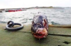 Tote Fische in der Natur Stockbilder