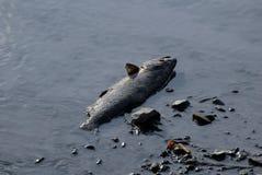 Tote Fische in einem Fluss stockfotos