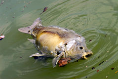 Tote Fische im Wasser Stockfoto