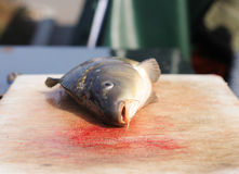Tote Fische (Karpfen) Stockfotos