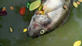 Tote Fische und gefallenen die Blätter, die auf planktonic Algen schwimmen, wässern stock video