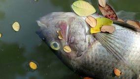 Tote Fische und gefallenen die Blätter, die auf planktonic Algen schwimmen, wässern stock video footage